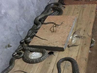 养蛇活体饵料高产技术——小白鼠养殖技术
