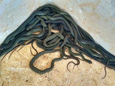 养蛇活体饵料高产技术——蟾蜍养殖技术