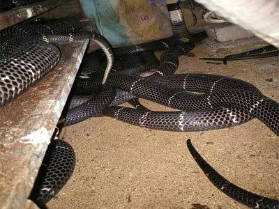 养蛇活体饲料高产技术——泥鳅养殖技术
