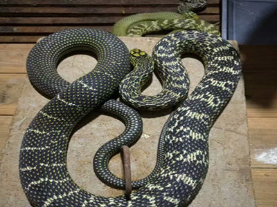 养蛇活体饲料高产技术——黄鳝养殖技术(二)