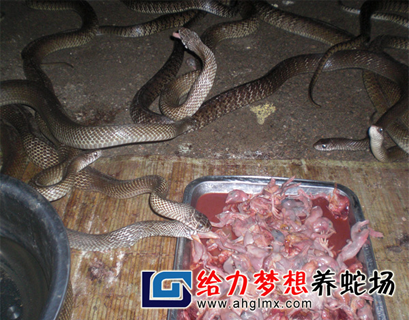 湖南养蛇基地!益阳养蛇场
