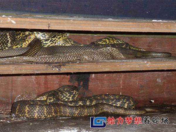 养蛇专业户