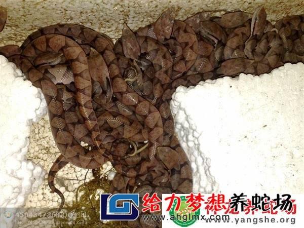 发酵床养蛇技术
