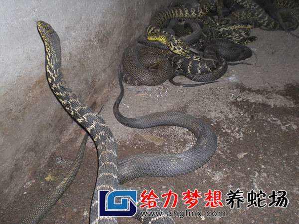 四川养蛇基地