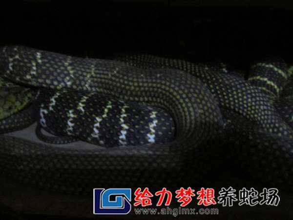 水律蛇养殖技术