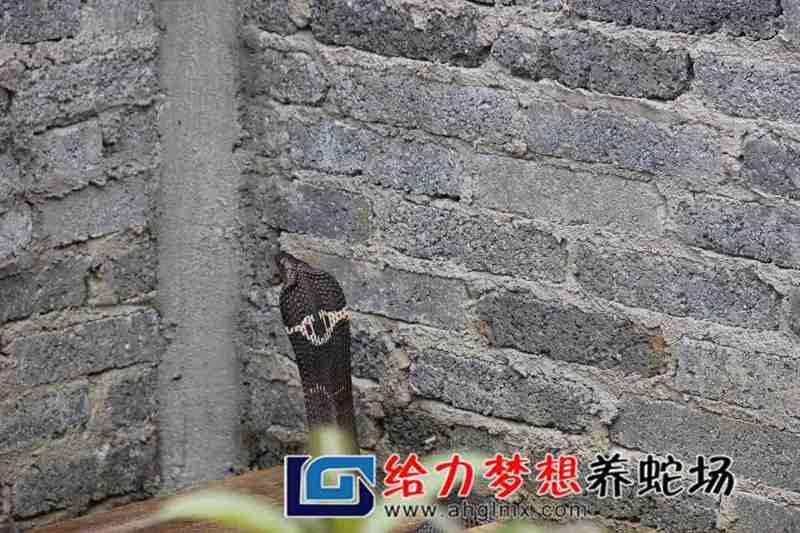 大王蛇养殖视频