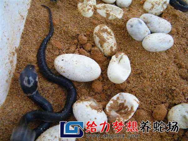 乌梢蛇养殖