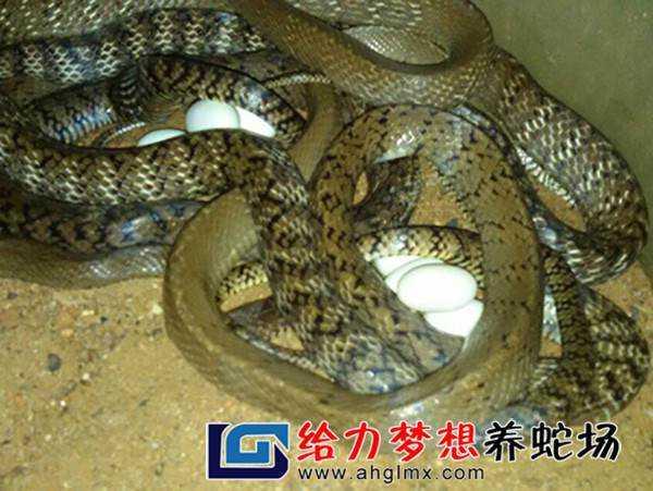 乌梢蛇养殖基地