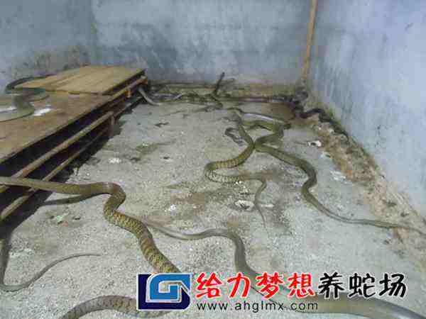 湖南养蛇人