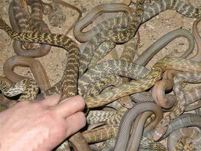 大王蛇商品蛇