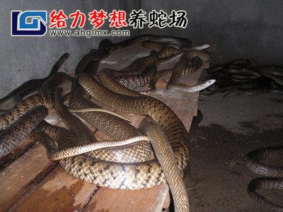 水律蛇商品蛇